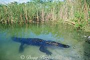 American alligator, Alligator mississippiensis, Big Pine Key, Florida