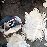 Africa, Morocco, Fes. A worker in the tanneries of Fes stretches freshly soaked leather hides.