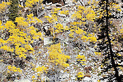 Bright yellow quaking aspen (Populus tremuloides) grow on a steep rocky hill slope above Black Joe Creek, Jim Bridger Wilderness, Wind River Range, Wyoming.
