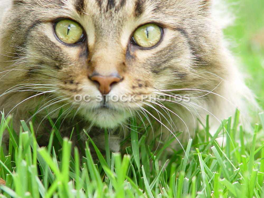 Maine Coon Cat In Grass
