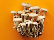 Raw  fresh organic Hon-Shimeji mushrooms