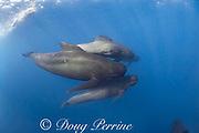 snorkeler and long-finned pilot whales, Globicephala melas, Straits of Gibraltar ( North Atlantic )