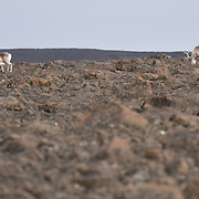 Svalbard reindeer, grazing on Nystrom Island. The land looks as barren as a moonscape but contains nutrients enough for these animals. Svalbard, Norway