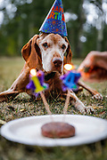 SHOT 9/1/18 6:33:07 PM - Tanner, a 14 year-old male Vizsla, celebrates his birthday with a bison burger while camping with his owner near Granite, Co. Granite is a high mountain town located on the Arkansas River midway between Leadville to the north, and Buena Vista to the south. It is in close proximity to the second and third highest peaks in the contiguous United States, Mount Elbert and Mount Massive. The Vizsla is a natural hunter endowed with an excellent nose and an outstanding trainability. It was bred to work in field, forest, or water. Although they are lively, gentle-mannered, demonstrably affectionate and sensitive, they are also fearless and possessed of a well-developed protective instinct. (Photo by Marc Piscotty / © 2018)