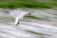 Snow Goose (Chen caerulescens) motion blur landing at Fir Island, Skagit River delta, Puget Sound, Washington, USA snowgeese, snowgoose, birds in flight, aves, snow geese, snow goose