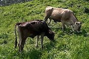 Bovini al pascolo a Cornello del Tasso in provincia di Bergamo...Bovines in grazing at Cornello del Tasso in Bergamo province.
