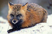 Red Fox ( Vulpes fulva ) Minnesota  cross phase laying down in snow red