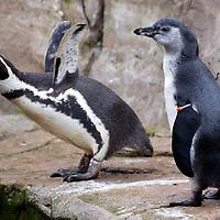 Humbolt Penguin Chick