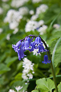 Bluebell among ramsons wild garlic, Allium Ursinum in wild hedgerow, Cornwall, England, UK