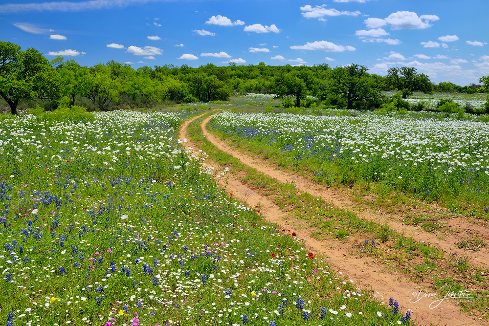 Wildflowers along the Art Hedwigs Hill Road, Mason County, Texas, USA, Mason County, Texas, USA