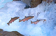 Coho Salmon (jumping waterfall)<br /> <br /> Patrick Clayton/Engbretson Underwater Photography