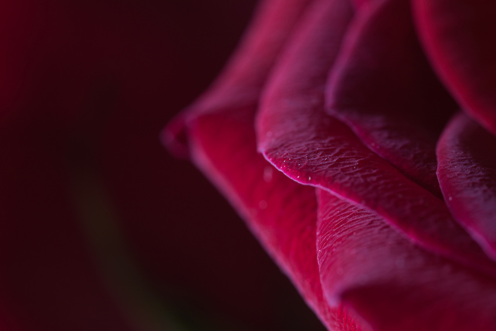 Macro floral images of a pink rose.