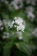 Allium ursinum - wild garlic