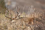 Trophy mule deer buck (Odocoileus hemionus)sleeping on ridge top