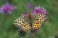 Dark Green Fritillary Argynnis aglaia Wingspan 60mm. An active, fast-flying butterfly, seen skimming and gliding over open ground and feeding on the flowers of thistles and knapweeds. Adult has orange-brown upperwings; underside of hindwing is suffused with olive-green scaling. Flies July–August. Larva is black with spiky hairs; feeds on violets. Widespread but local on chalk downland and sand dunes in Britain and Ireland; commonest near coasts and in western half of region.