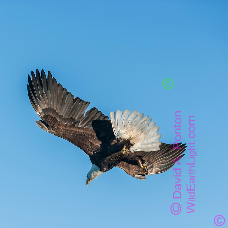 Bald eagle in flight against clear sky, diving with feet down in preparation for fish strike, © David A. Ponton