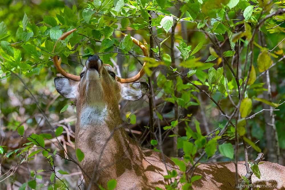 A white-tailed deer (Odocoileus virginianus), also known as the whitetail or Virginia deer, feeds on leaves in Shenandoah National Park, Virginia.