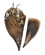 Noble Pen Shell or Fan Mussel - Pinna nobilis