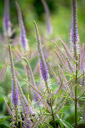 Veronicastrum virginicum 'Fascination' - Culver's root