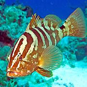 Nassau Grouper inhabit reefs in Tropical West Atlantic; picture taken San Salvador, Bahamas.