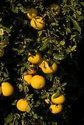 Israel, Sharon district, Citrus Grove, oranges