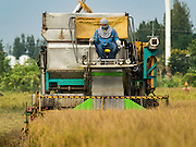 "23 NOVEMBER 2016 - AYUTTHAYA, THAILAND: A worker operates a rice harvester during the rice harvest in Ayutthaya province, north of Bangkok. Rice prices in Thailand hit a 13-month low early this month. The low prices are hurting farmers. Rice exports account for around 10 percent of Thailand's gross domestic product, and low prices frequently lead to discontent in the rural areas of Thailand. The military government has responded by sending soldiers to rice mills, to ""encourage"" mill owners to pay farmers higher prices. The Thai army and navy are also buying for their kitchens directly from farmers in an effort to get more money into farmers' hands.  PHOTO BY JACK KURTZ"