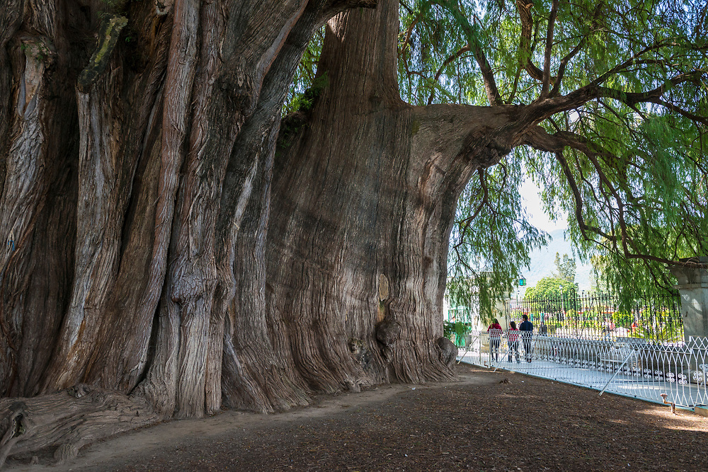 """El Árbol del Tule (Spanish for """"The Tree of Tule"""") is a Montezuma Cypress located on church grounds at Santa María del Tule in the Mexican state of Oaxaca. It is known as the stoutest tree in the world, its age estimated at between 1,200 and 3,000 years.<br /> <br /> (November 3, 2014)"""