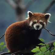 Red Panda portrait in the Wolong Nature Reserve in Sichuan, China. Captive Animal
