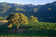 Oak tree at sunset in vineyard, Galante Vineyards, above Carmel Valley, Monterey County, California