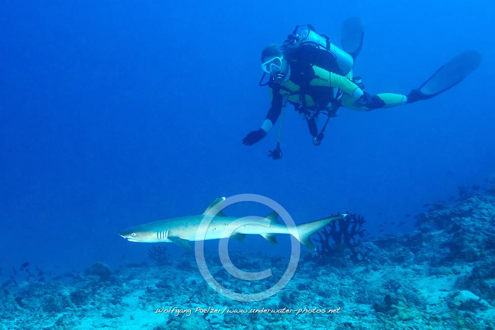 Triaenodon obesus, Weissspitzen Riffhai und Taucher, Whitetip reef shark and scuba diver, Malediven, Indischer Ozean, Ari Atoll, Hafsha Thila, Maldives, Indian Ocean