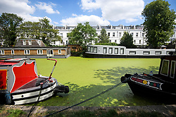 © Licensed to London News Pictures. 23/07/2018. London, UK.Green algae covers the Grand Union canal at Little Venice in central London. The algae flourishes in sustained periods of warm weather. Forecasters are predicting record temperatures this week. Photo credit: Ben Cawthra/LNP
