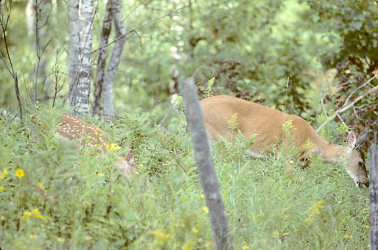 Whitetail Deer, (Odocoileus virginianus) Spring fawn with doe browsing on vegetation in forest
