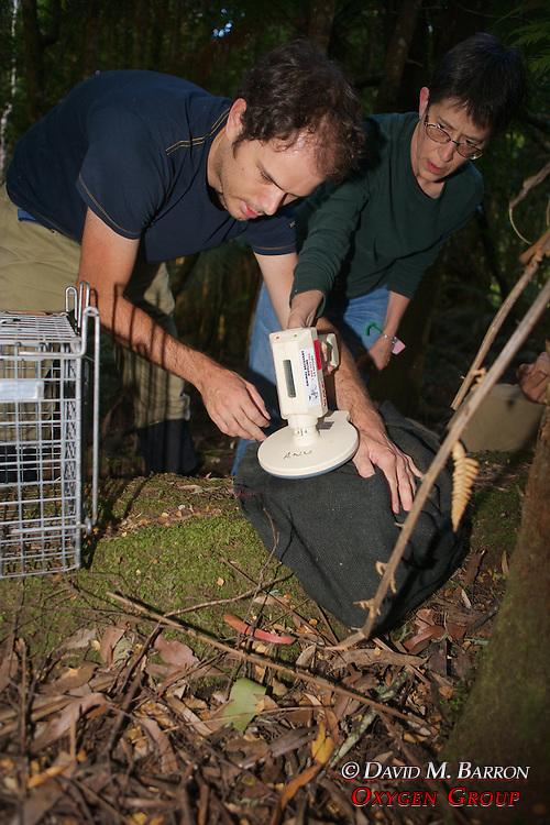 Sam & Jean Checking Microchip Put In Mountain Brushtail Possum
