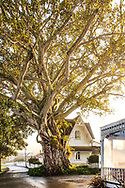 morton bay fig, russell, northland,