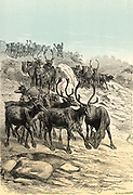 Reindeer (Rangifer trandus) Arctic and Subarctic deer herded for its meat, milk and use as a draught animal.  Chromoxylograph from 'The Polar World' by G Hartwig (London, 1874).