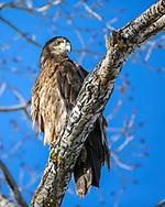 Immature Bald Eagle, Jackson Hole, Wyoming