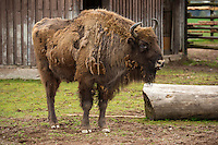 European bison, Captive. Transportation of European Bison, or Wisent, from the Avesta Visentpark, in Avesta, Sweden. The animals were then transported to the Armenis area in the Southern Carpathians, Romania. All arranged by Rewilding Europe and WWF Romania, with financial support from The Dutch Postcode Lottery, the  Swedish Postcode Foundation and the Liberty Wildlife Fund.