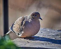 Mourning Dove. Image taken with a Nikon D5 camera and 600 mm f/4 VR lens (ISO 360, 600 mm, f/4, 1/1250 sec).