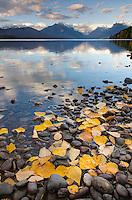 Fallen leaves dotting the shore of Lake McDonald, Glacier National Park Montana USA