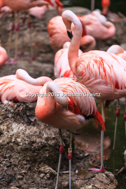 Pink flamingos (Phoenicopterus ruber) preening in the Denver, Colorado zoo. WATERMARKS WILL NOT APPEAR ON PRINTS OR LICENSED IMAGES.