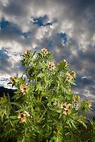Henbane, Hyoscyamus niger, Queyras, France, Europe