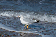 A ring-billed gull in nonbreeding plumage works the water's edge.