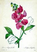 19th-century hand painted Engraving illustration of Lathyrus latifolius, the perennial peavine, perennial pea, broad-leaved everlasting-pea, or just everlasting pea by Pierre-Joseph Redoute. Published in Choix Des Plus Belles Fleurs, Paris (1827). by Redouté, Pierre Joseph, 1759-1840.; Chapuis, Jean Baptiste.; Ernest Panckoucke.; Langois, Dr.; Bessin, R.; Victor, fl. ca. 1820-1850.
