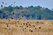 A flock of Red-winged Blackbirds fly across coastal marsh grass at the Bear Island Wildlife Management Area in Green Pond, South Carolina.