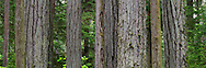 Panorama of tree trunks in the forest at Cathedral Grove in Macmillan Provincial Park - Port Alberni, British Columbia, Canada