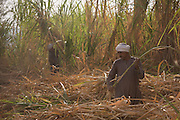 Local sugarcane cutters works in late-morning heat and dust near Qurna, a village on the West Bank of Luxor, Nile Valley, Egypt. In Egypt, sugar cane juice is called aseer asab and is by far the most popular drink served by almost all fruit juice vendors, who are abundant in most cities. It is sold by roadside vendors, where the juice is squeezed fresh when ordered. Raw sugar cane juice can be a health risk to drinkers due to the unhygienic conditions under which it is prepared. There are some diseases that can be transmitted by raw sugar-cane like Leptospirosis
