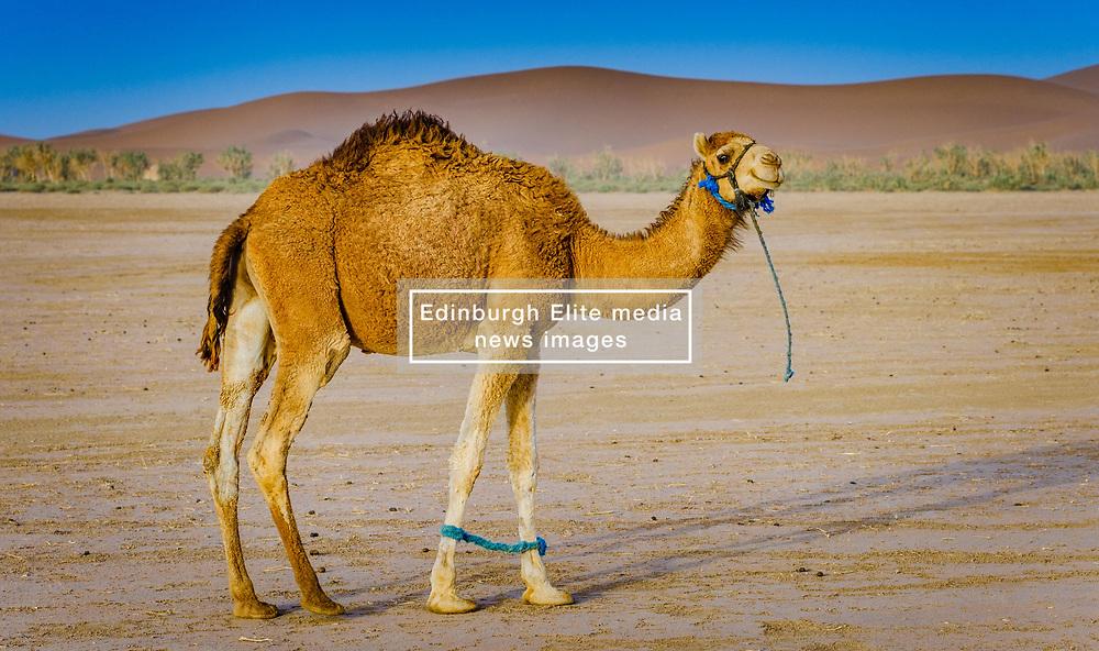 A tethered camel in the Moroccan Sahara Desert<br /> <br /> (c) Andrew Wilson | Edinburgh Elite media