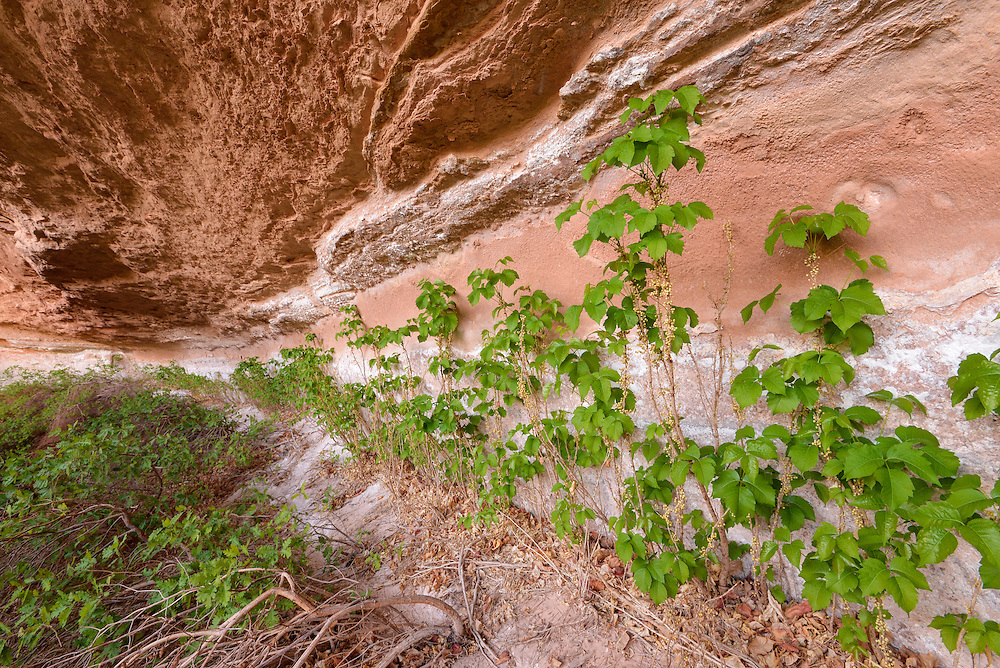 Poison ivy growing along a wall along the Dirty Devil River in Southern Utah.