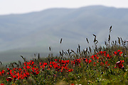 Ranunculus asiaticus, the Persian buttercup, is a species of buttercup (Ranunculus) native to the eastern Mediterranean region in southwestern Asia, southeastern Europe (Crete, Karpathos and Rhodes), and northeastern Africa Photographed Kidron valley, Judaean desert, West Bank Palestine Israel in March