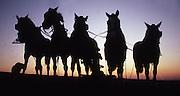 Amish boy works a five mule team, Lancaster Co., PA